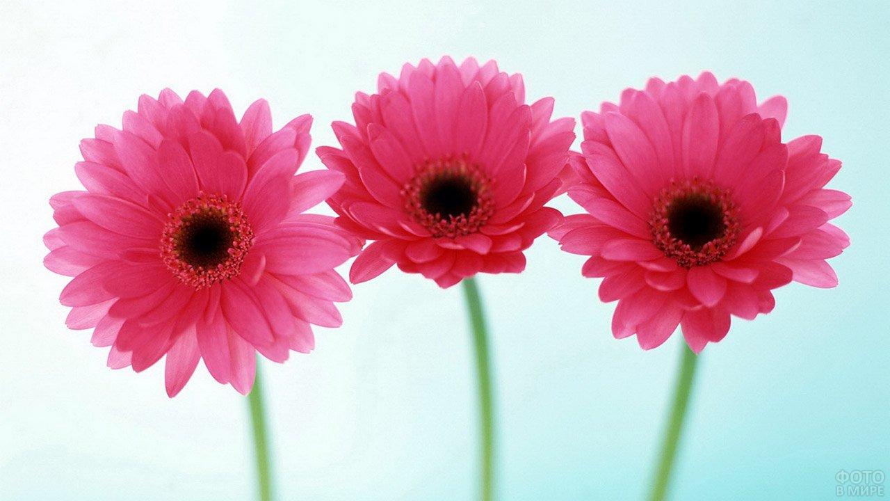 Ярко-розовые герберы