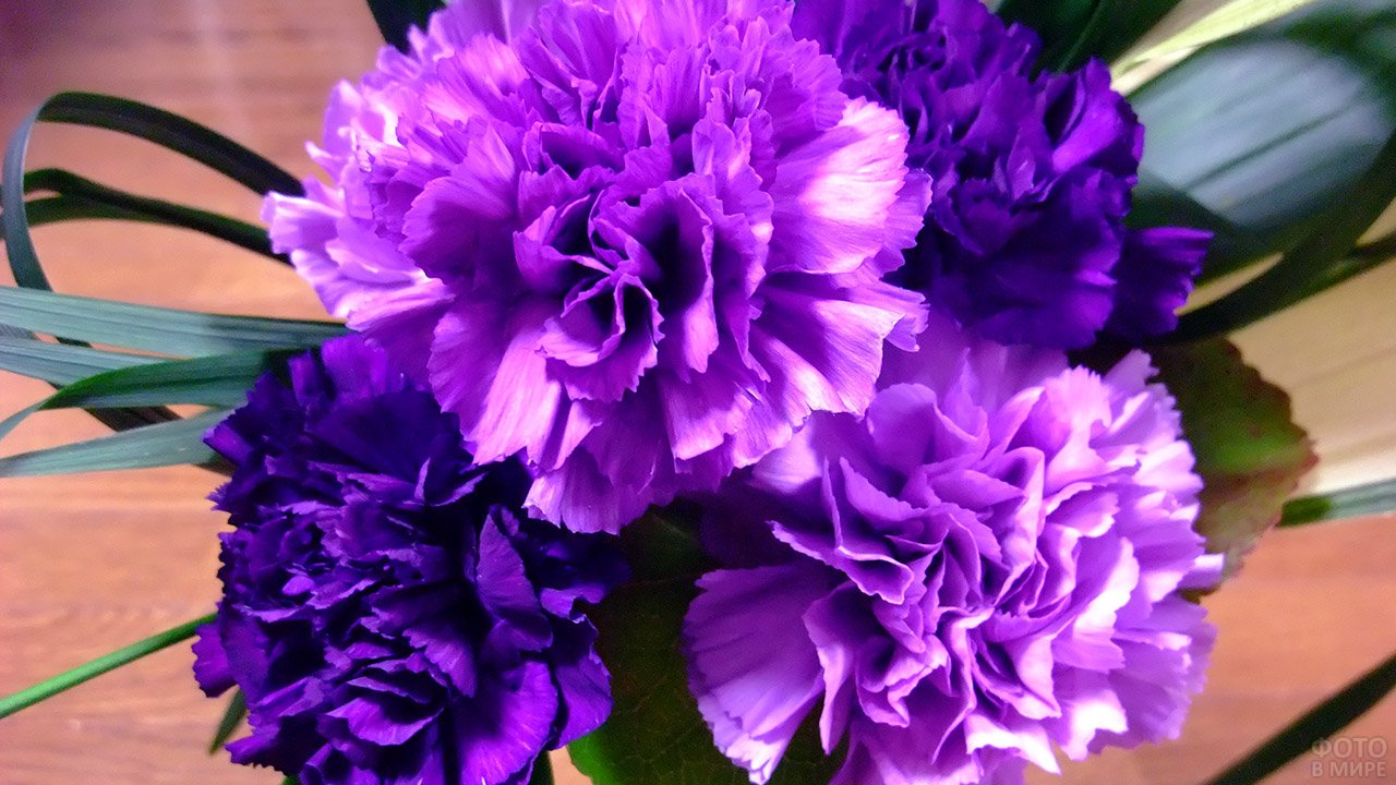 Нарядные ярко-фиолетовые гвоздики