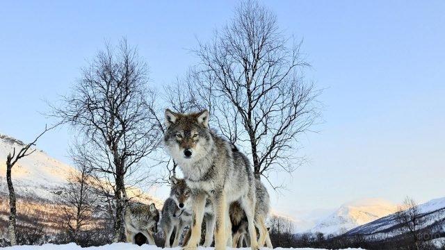 Любопытные волки зимним утром в горах