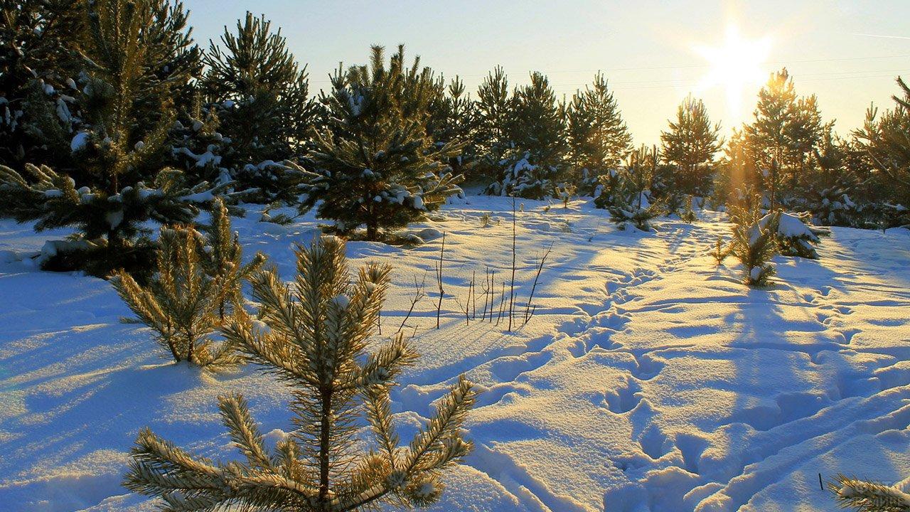 Молодой ельник среди сугробов под лучами восходящего солнца