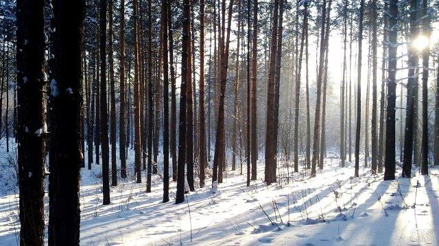 Зимнее утро с сосновом бору
