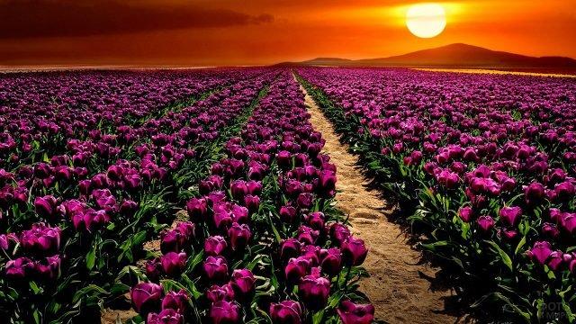 Поле тюльпанов на закате в Турции