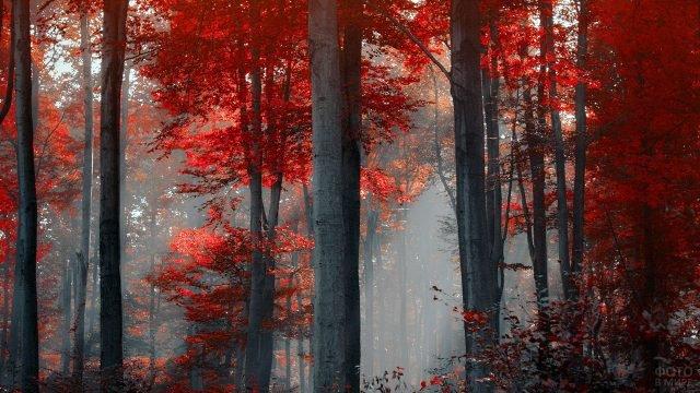Алые кроны в туманном осеннем лесу