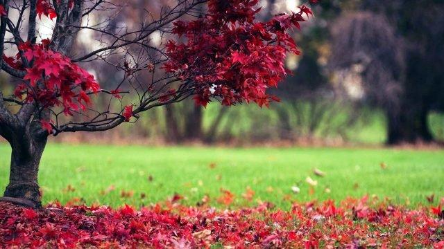 Красные листья осеннего клёна у ещё зелёной лужайки