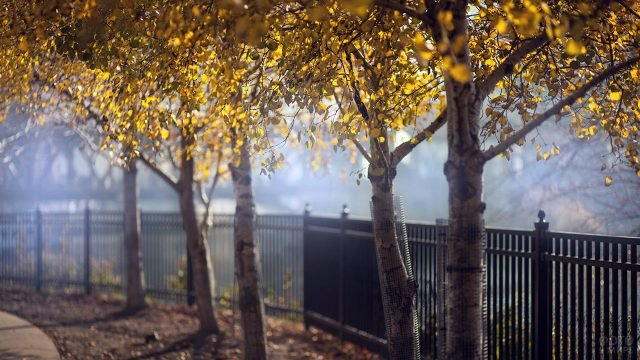 Молодые берёзки с пожелтевшими кронами вдоль парковой ограды