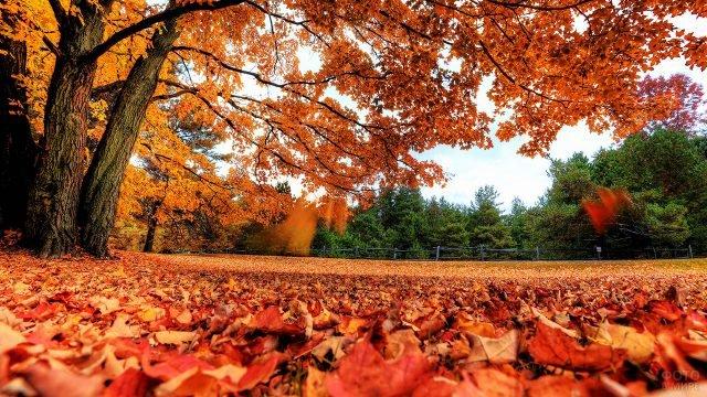Опавшие оранжевые листья под клёном в парке