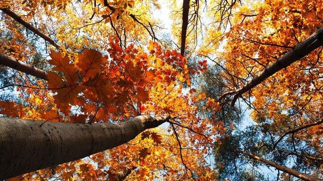 Оранжевые кроны устремившихся ввысь молодых дубков