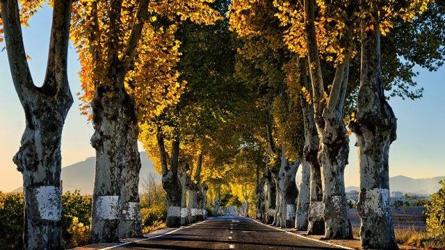 Старые пожелтевшие деревья вдоль сельской дороги