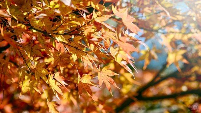 Жёлто-оранжевые кленовые листья на ветке