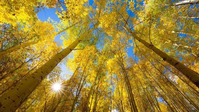 Золотые осины на фоне лазурного сентябрьского неба