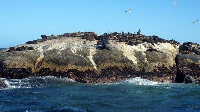 Тюлени и чайки на скале у побережья Южной Африки