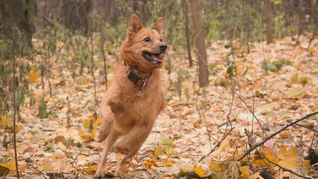 Карельская лайка бежит по лесу
