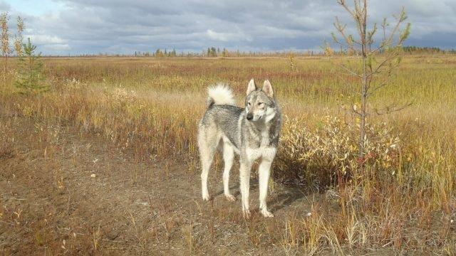 Лайка гуляет в осеннем поле