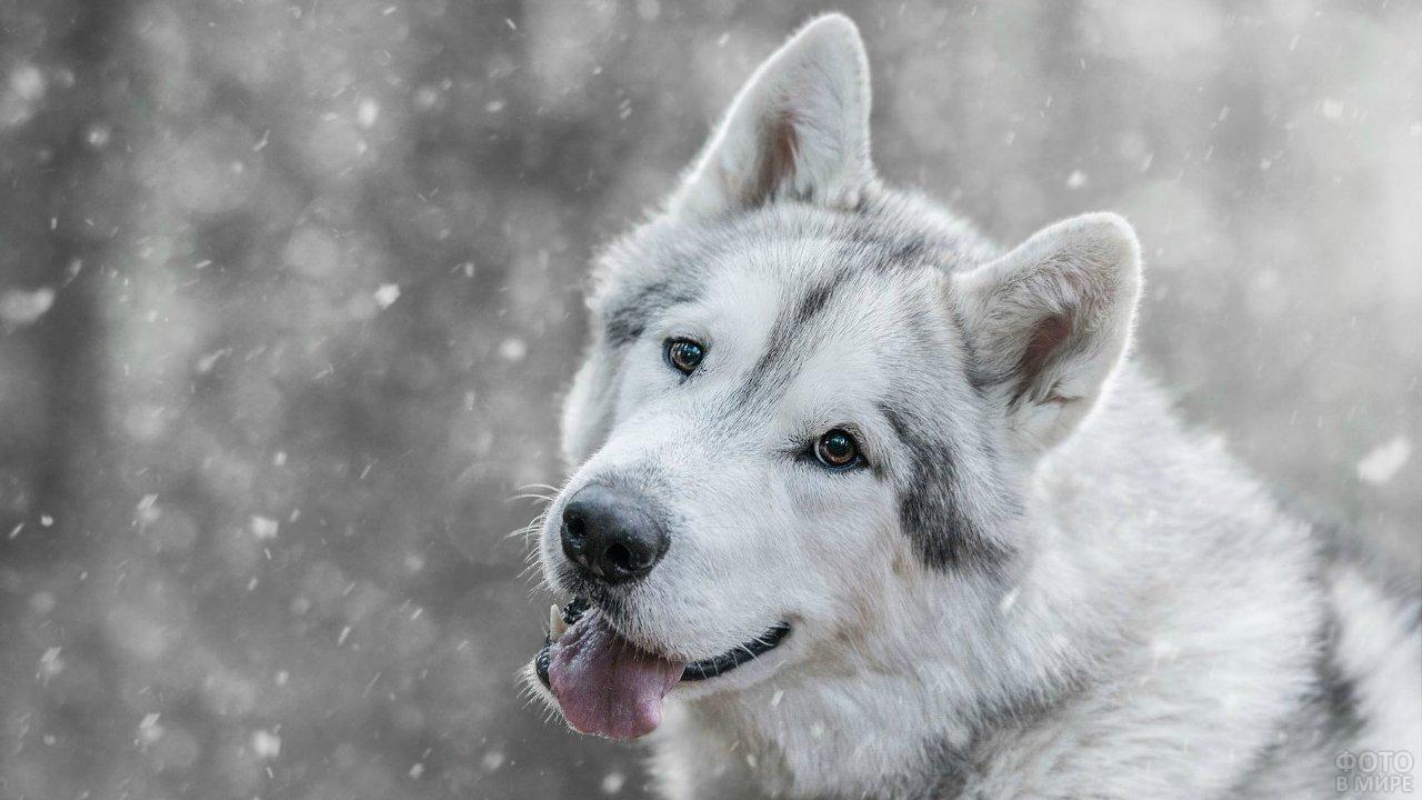 Лайка ловит языком белые снежинки