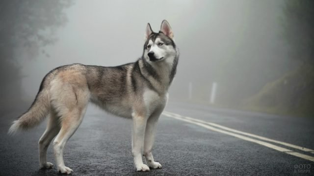Лайка стоит на дороге в тумане