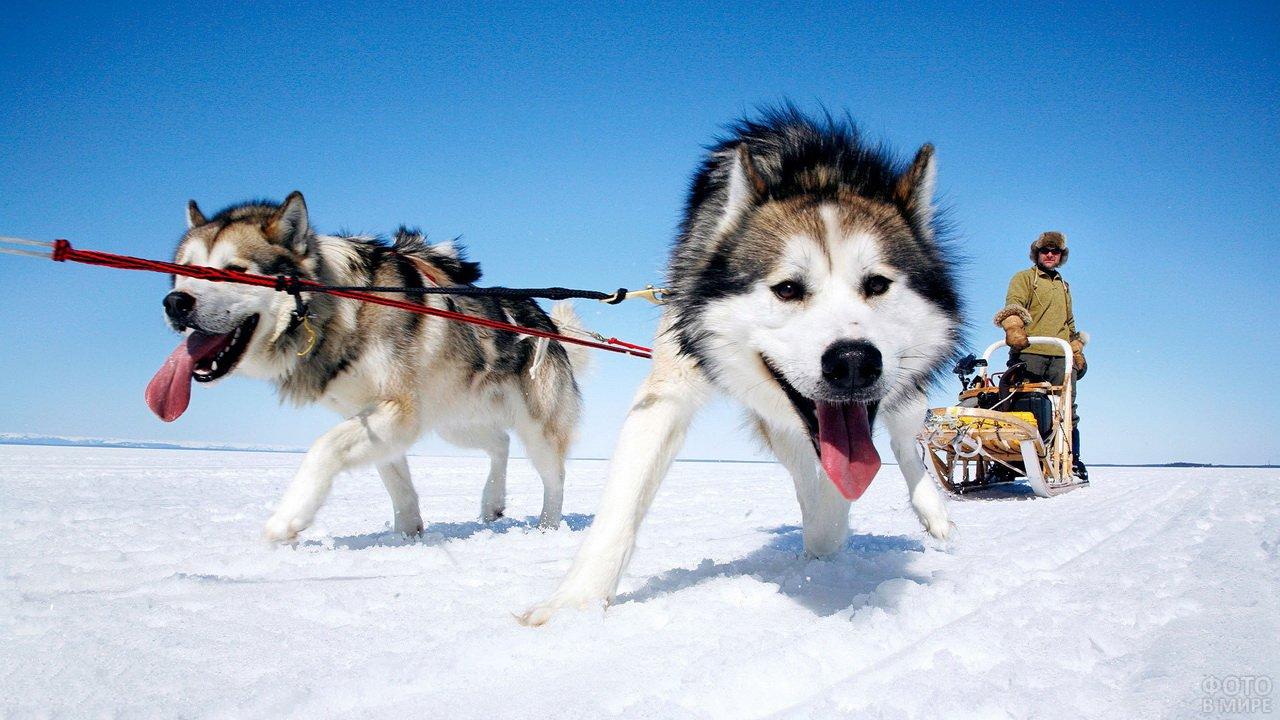Маламут в упряжке на Аляске