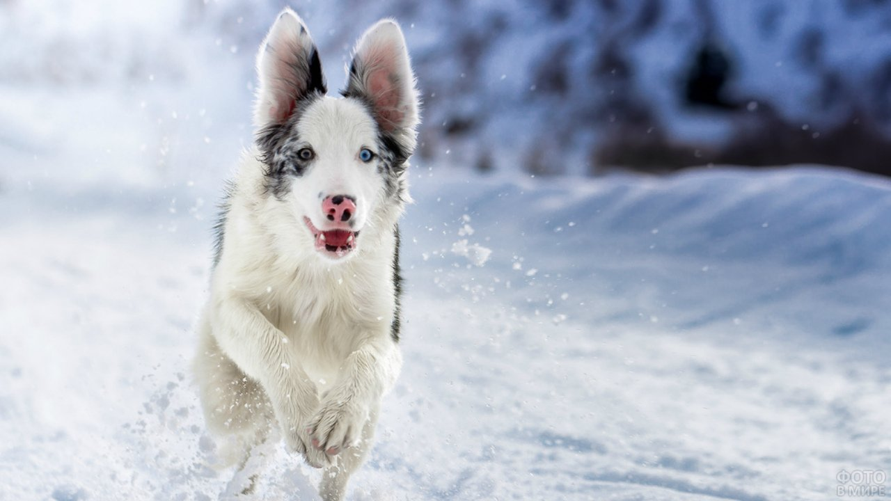 Собака бежит по снегу подняв уши