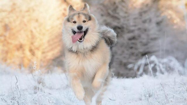 Собака мчится по снегу, высунув язык