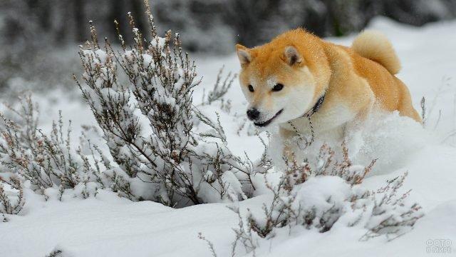 Собака разгребает пушистый снег