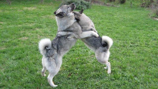 Весёлые собачьи объятия на зеленой лужайке