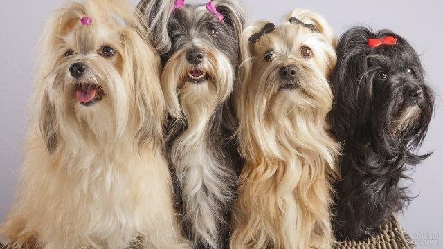 Четыре декоративных лохматых собаки