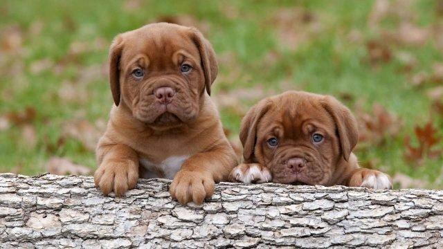 Два породистых щенка бордоского дога