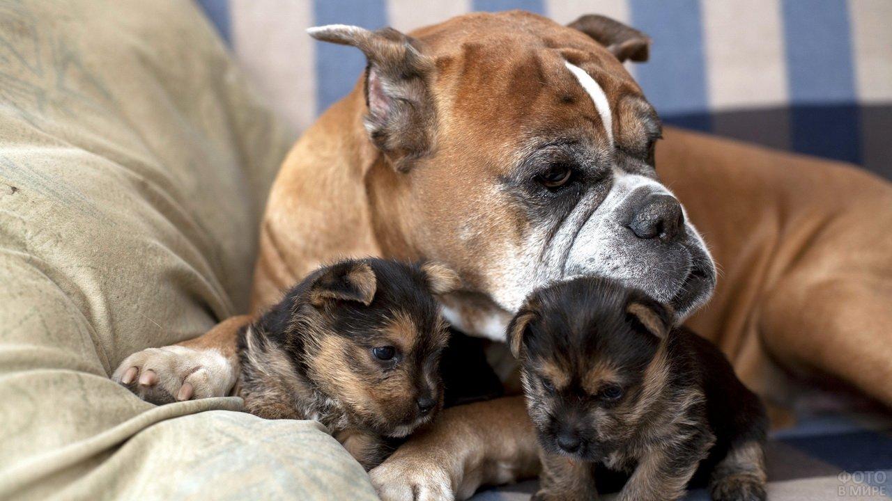 Два щенка с мамой