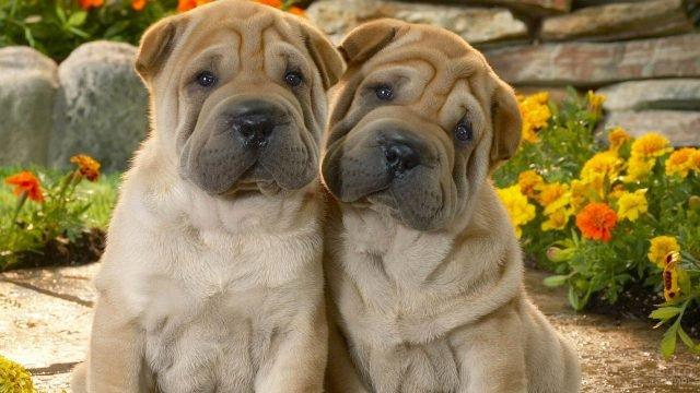 Два щенка шарпея на фоне клумбы с цветами