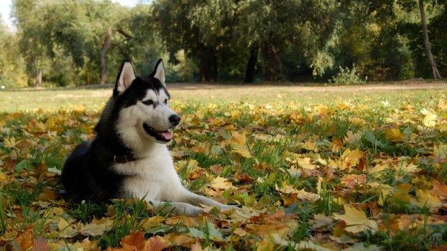 Хаски лежит на осенних листьях