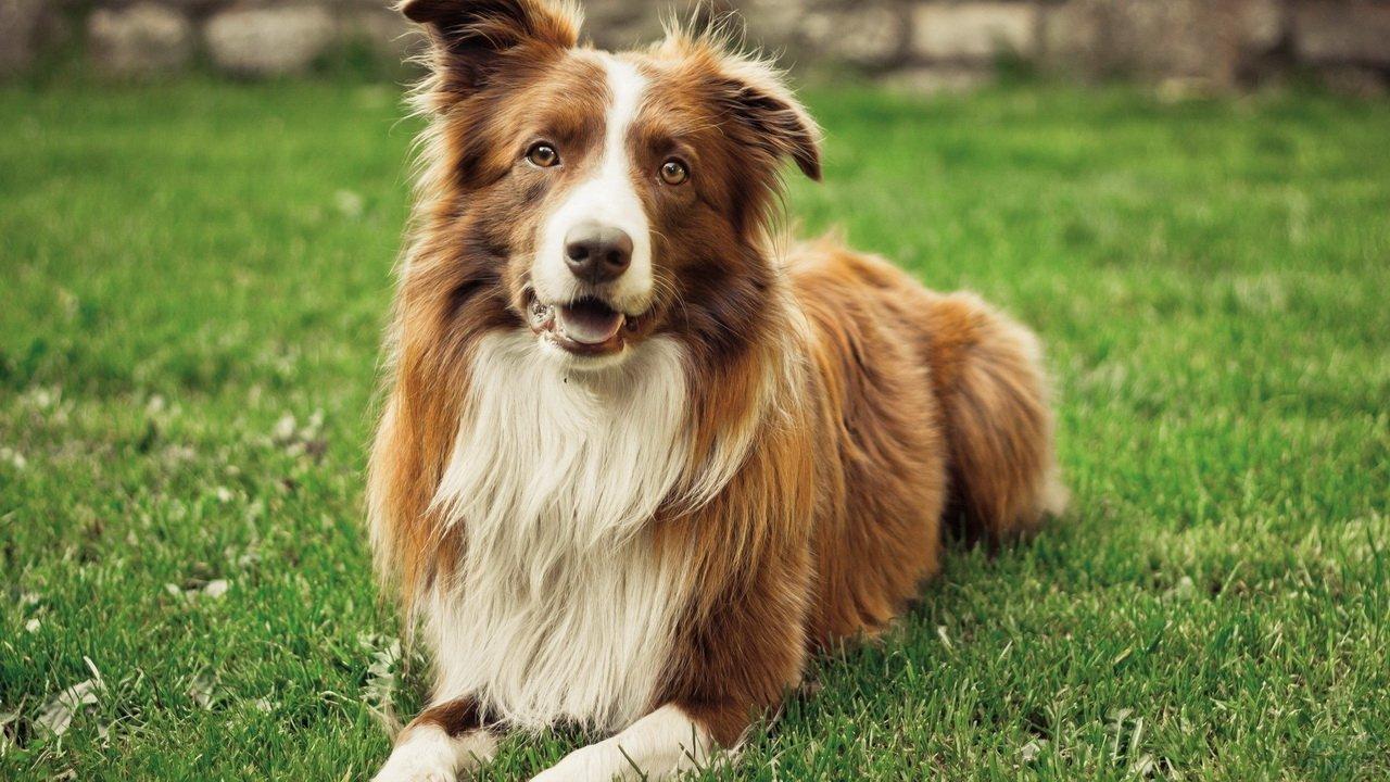 Лохматая рыже-белая собака на зелёной лужайке