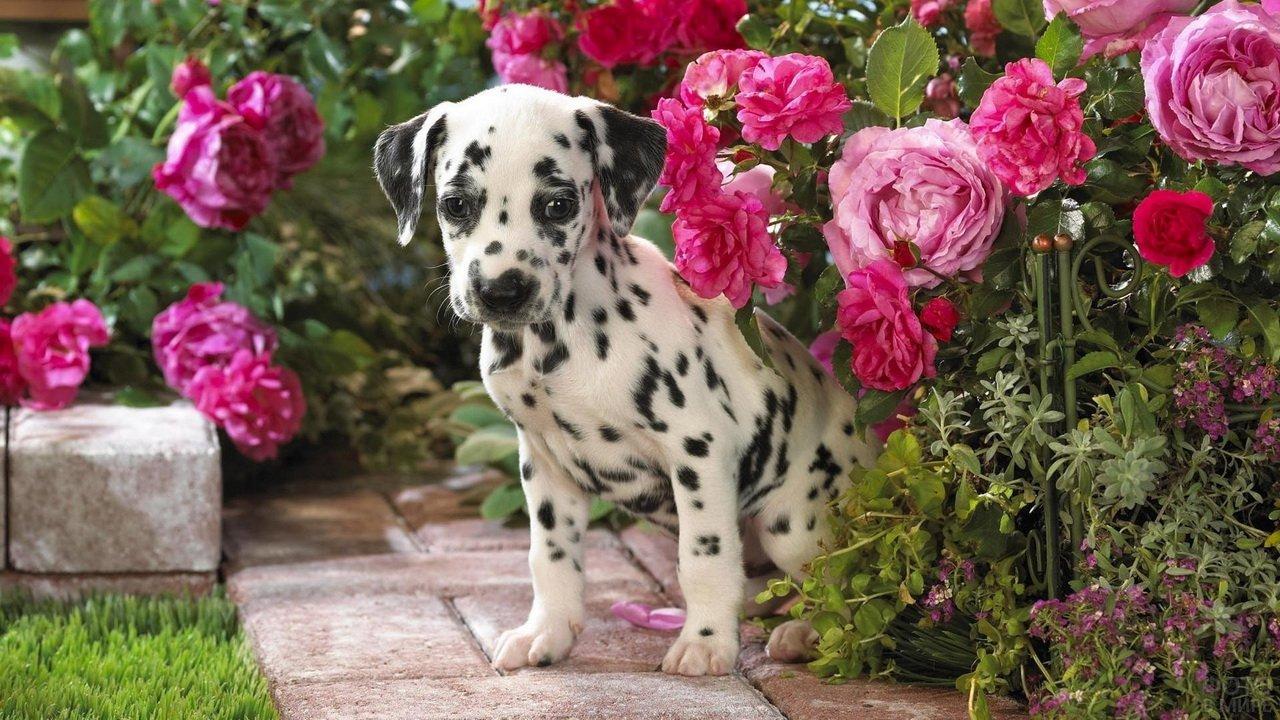 Маленький долматинец среди цветущих роз