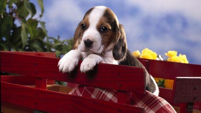 Маленький щенок выглядывает из деревянной повозки