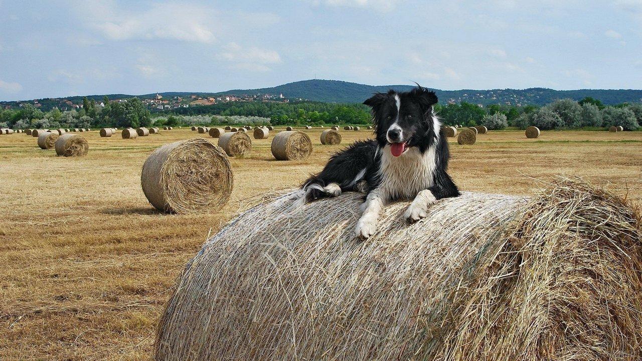 Пастушья собака лежит на валке сена