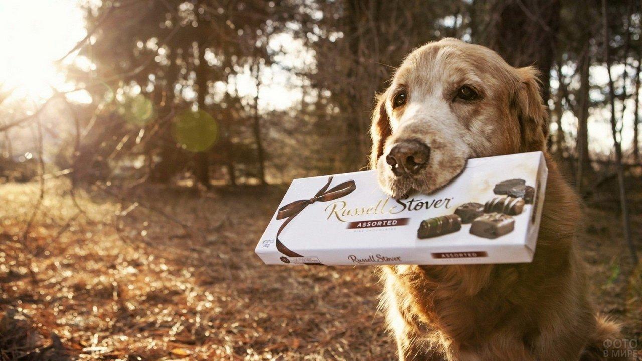 Пёс с коробкой конфет в зубах