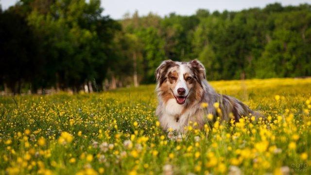Счастливая собака в поле с цветущими одуванчиками