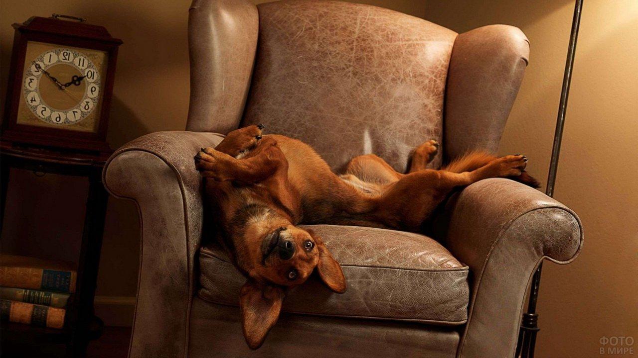 Собака кверху пузом на кресле