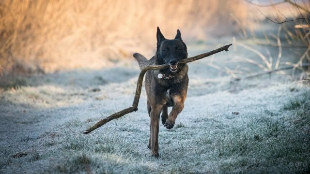 Собака несёт ветку в зубах