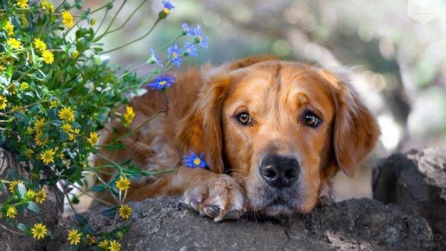 Собака положила грустную морду на лапы возле полевых цветов