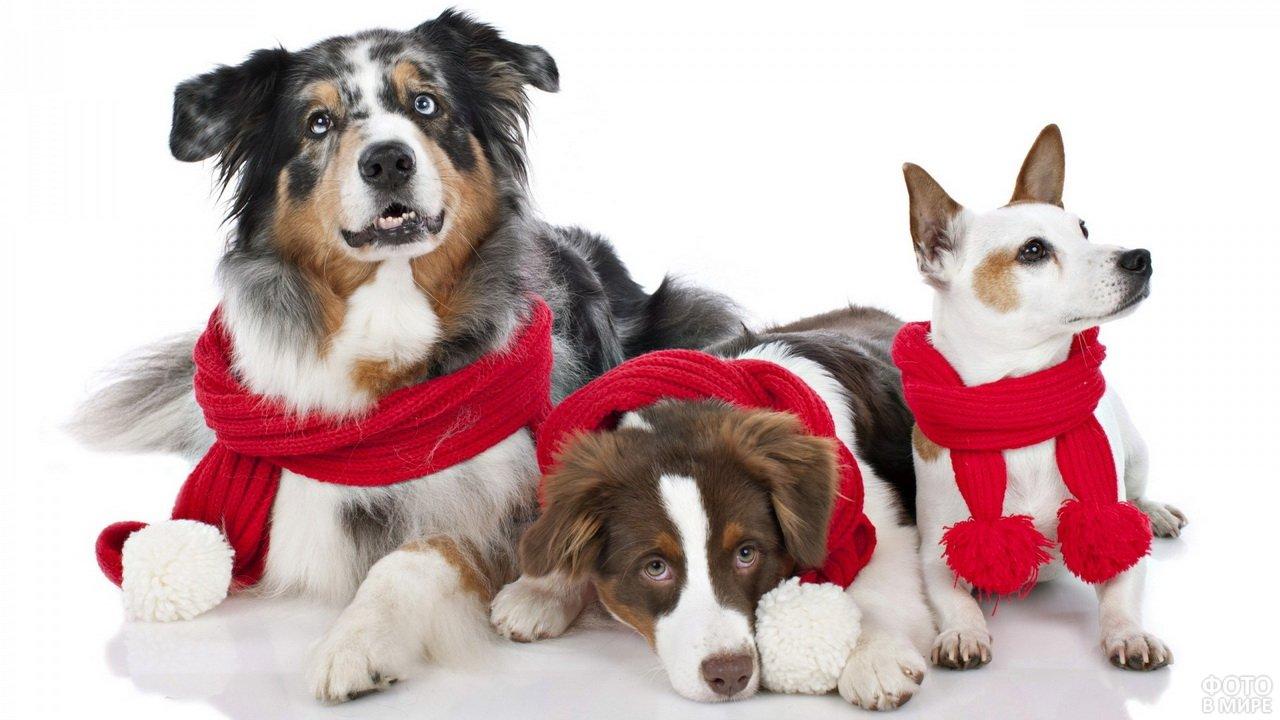 Три милые собаки с красными шарфами