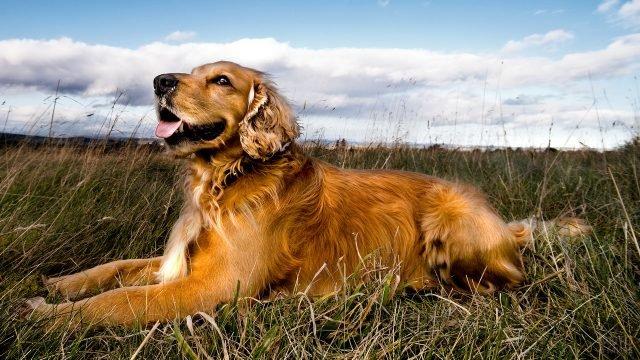 Золотистый пёс лежит на траве