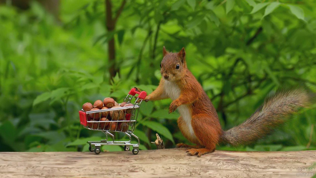 Белка с орехами в тележке из супермаркета
