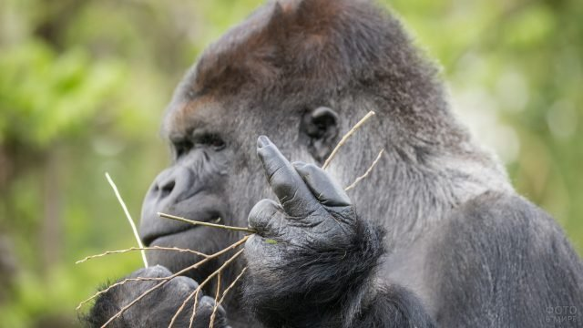 Горила показала средний палец