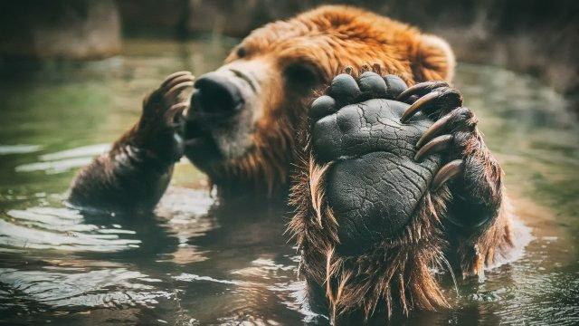 Медведь чешет лапу высунув её из воды