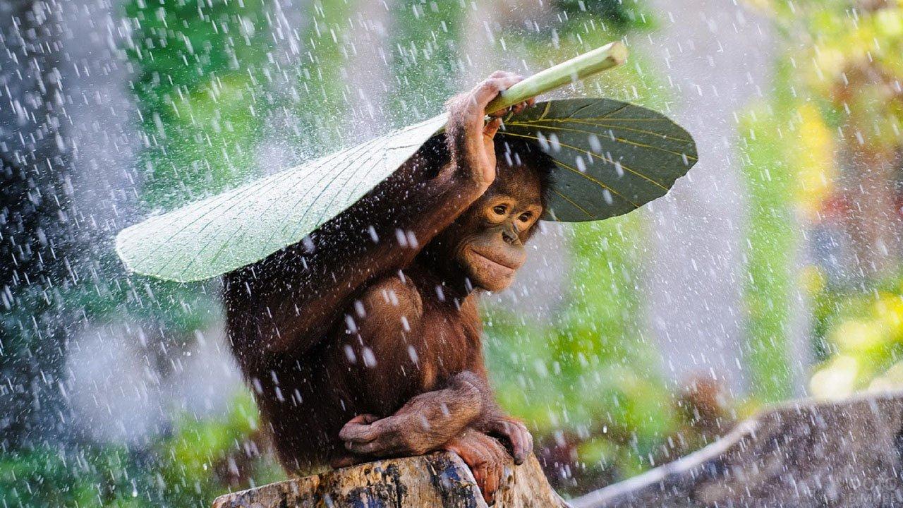 Обезьянка прикрывается листком от дождя