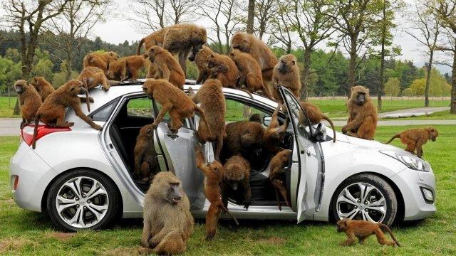 Обезьяны облепили машину