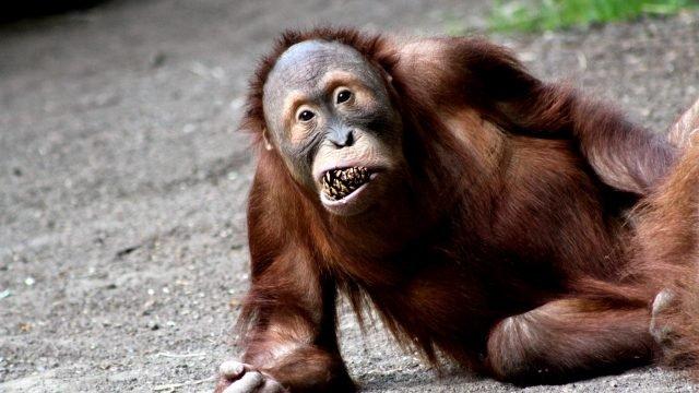 Орангутанг с шишкой в зубах