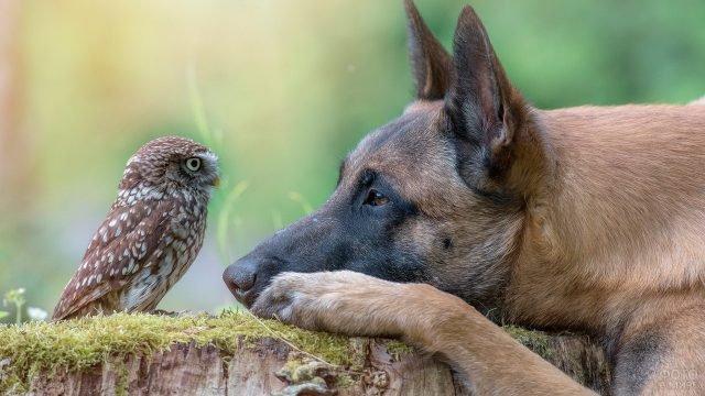 Овчарка и сова смотрят друг на друга