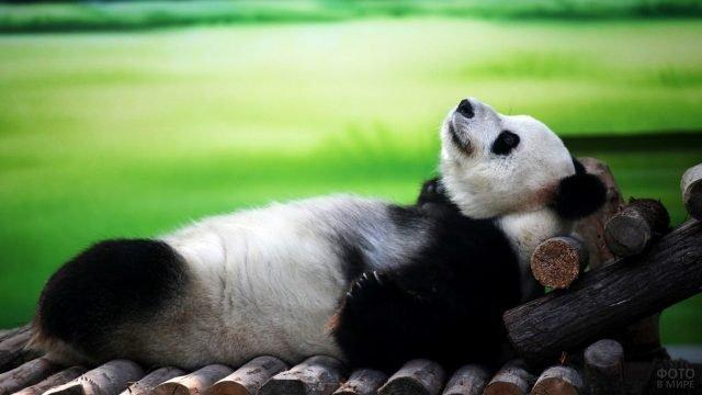 Панда отдыхает, лёжа на брёвнах