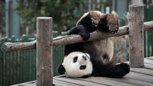 Панда падает через перила