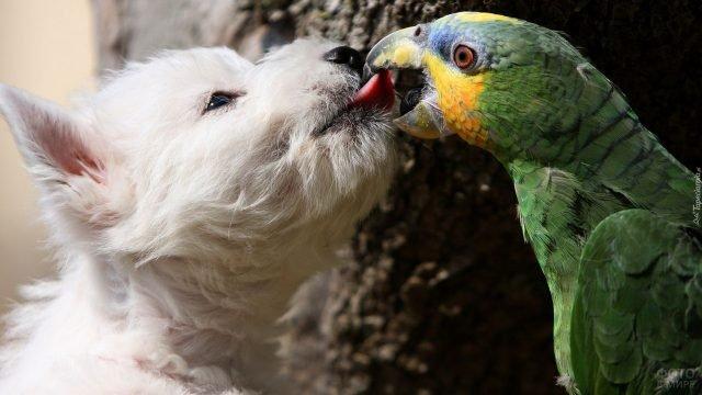 Попугай хватает пса за язык